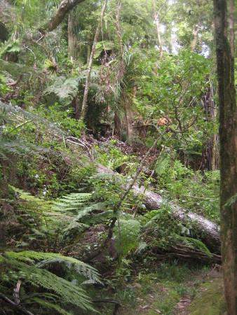 pukethi-forest2-053.JPG
