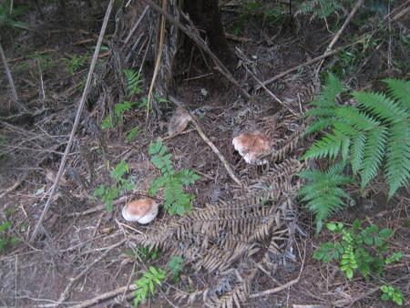 pukethi-forest2-057.JPG