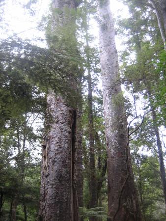 pukethi-forest2-078.JPG