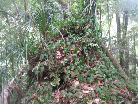 pukethi-forest2-089.JPG